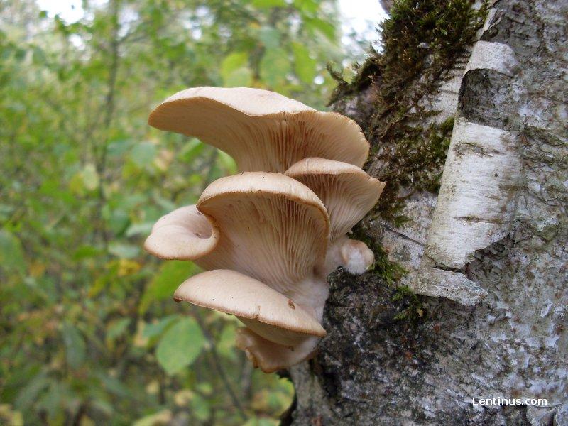 вешенки грибы фото в лесу
